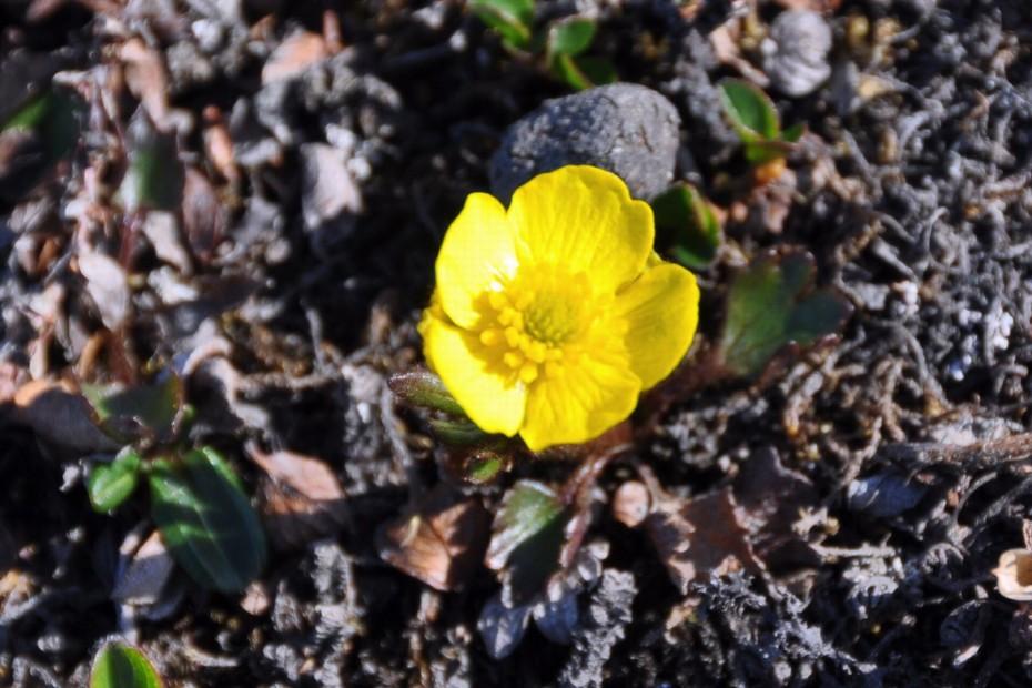 bloem-spitsbergen