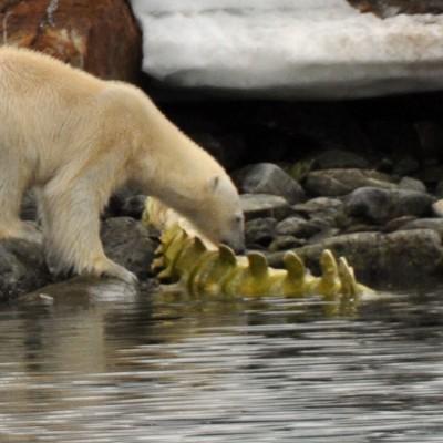 ijsbeer-bij-skelet-spitsbergen