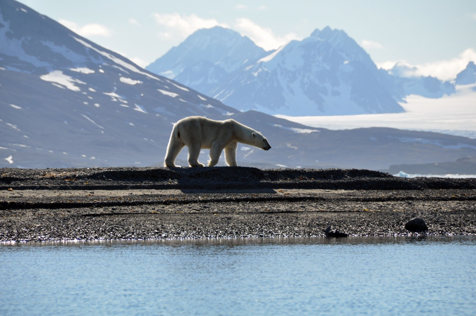 polar bear walks on Spitsbergen