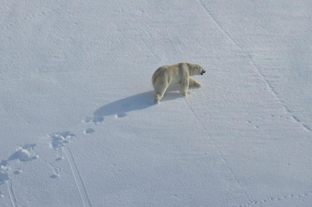 ijsbeer-spitsbergen