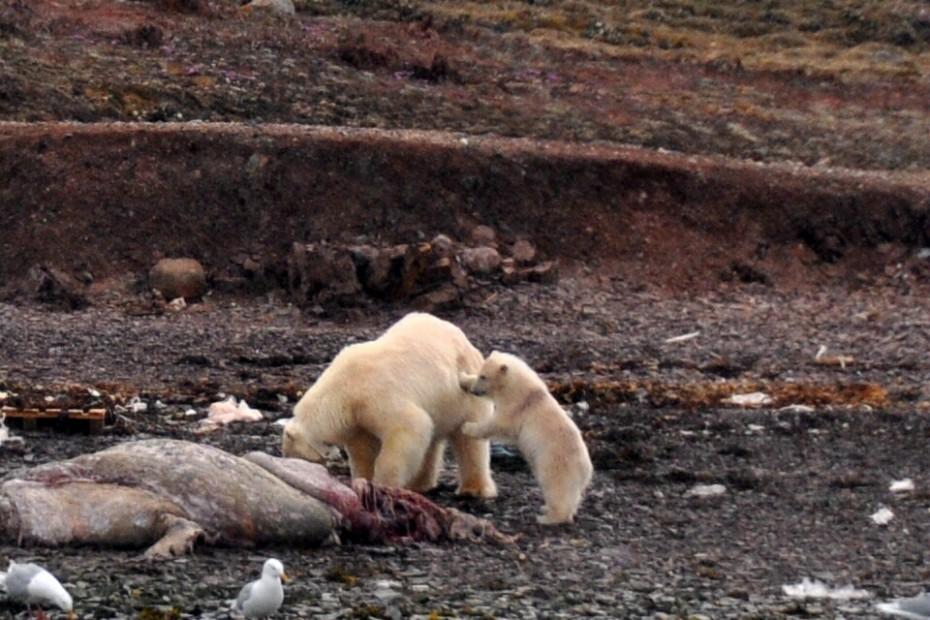 ijsberin met jong Spitsbergen