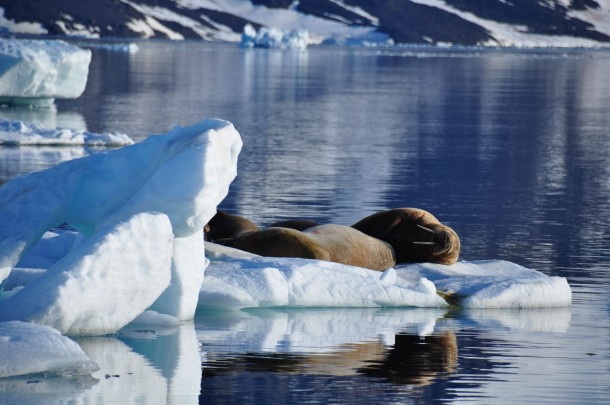 walrus-franz-josef land