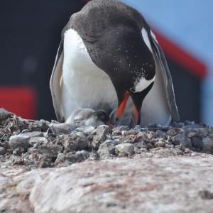pinguin nestelt port lockroy