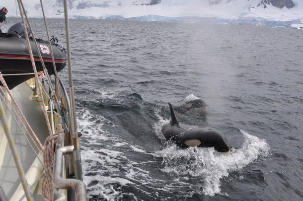 orkas-naast-anne-margaretha-antarctica