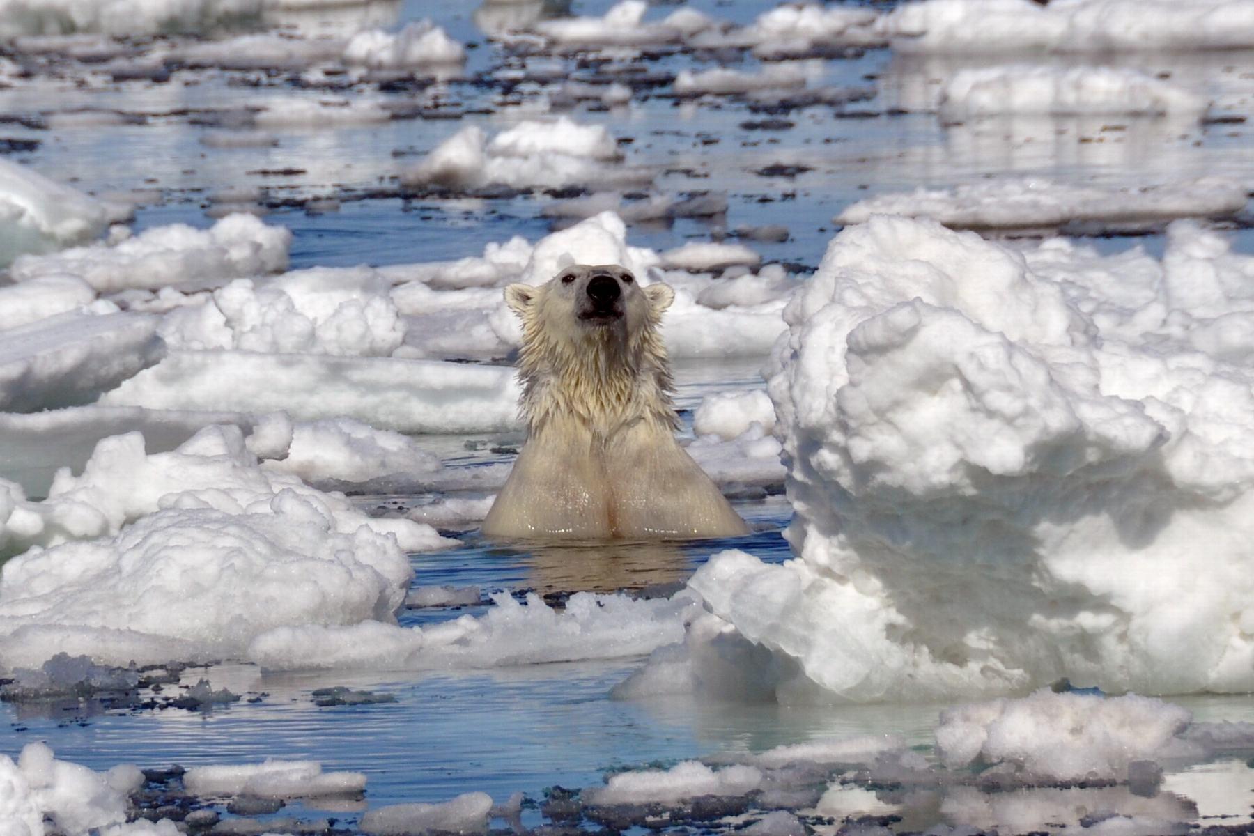 Spitsbergen-Polarbear